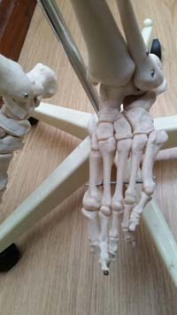 Image of the bones of the foot